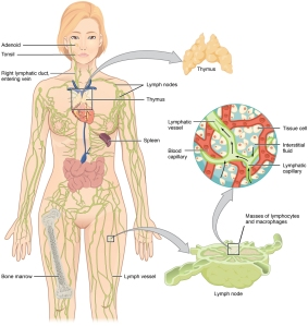 2201_Anatomy_of_the_Lymphatic_System