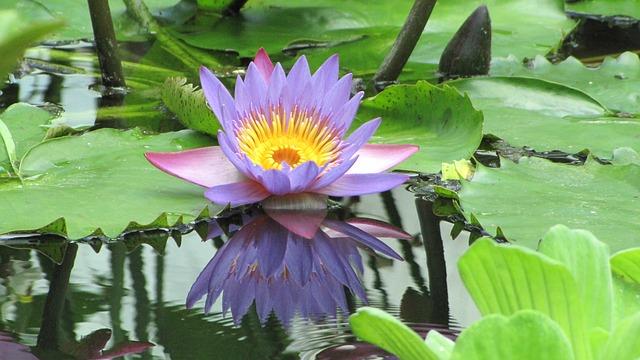 purple lotus blossom