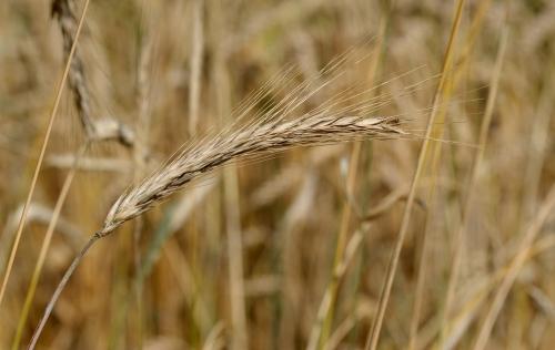 Secale_cereale_-_ear_(aka)