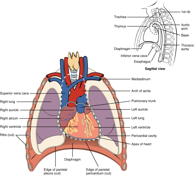 Diagram of human heart