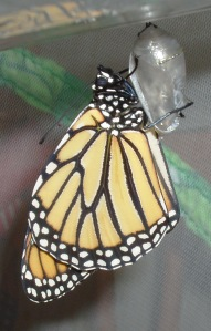 a butterfly that recently emerged from cocoon