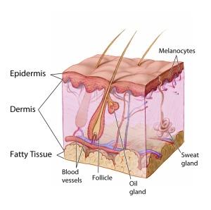 Diagram of human skin