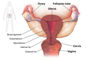 Diagram of female human reproductive organs
