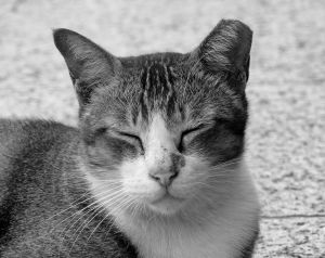 Black and white photograph of a cat with one ear that's been clipped