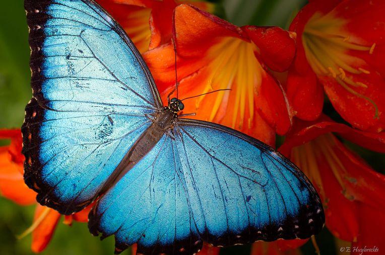 1024px-Papillon_Bleu_-_Blue_Butterfly_(5861969172)