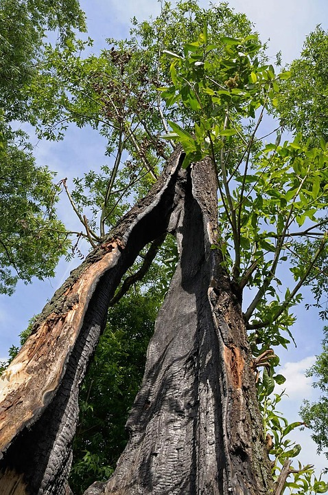 Hollow tree damaged by lightning strike