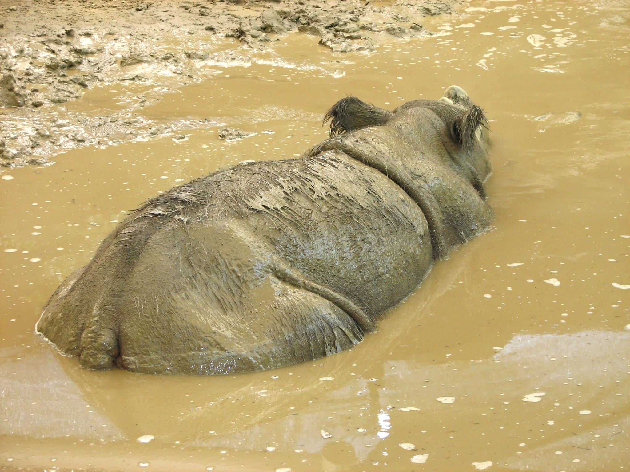 Rhino soaking in a muddy watering hole