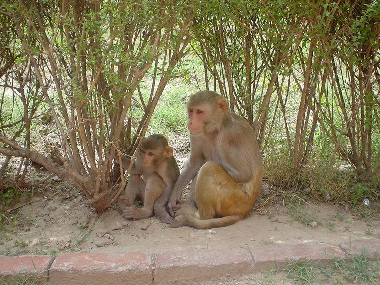 Baby and adult Rhesus monkeys