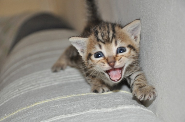 Meowing brown kitten with blue eyes