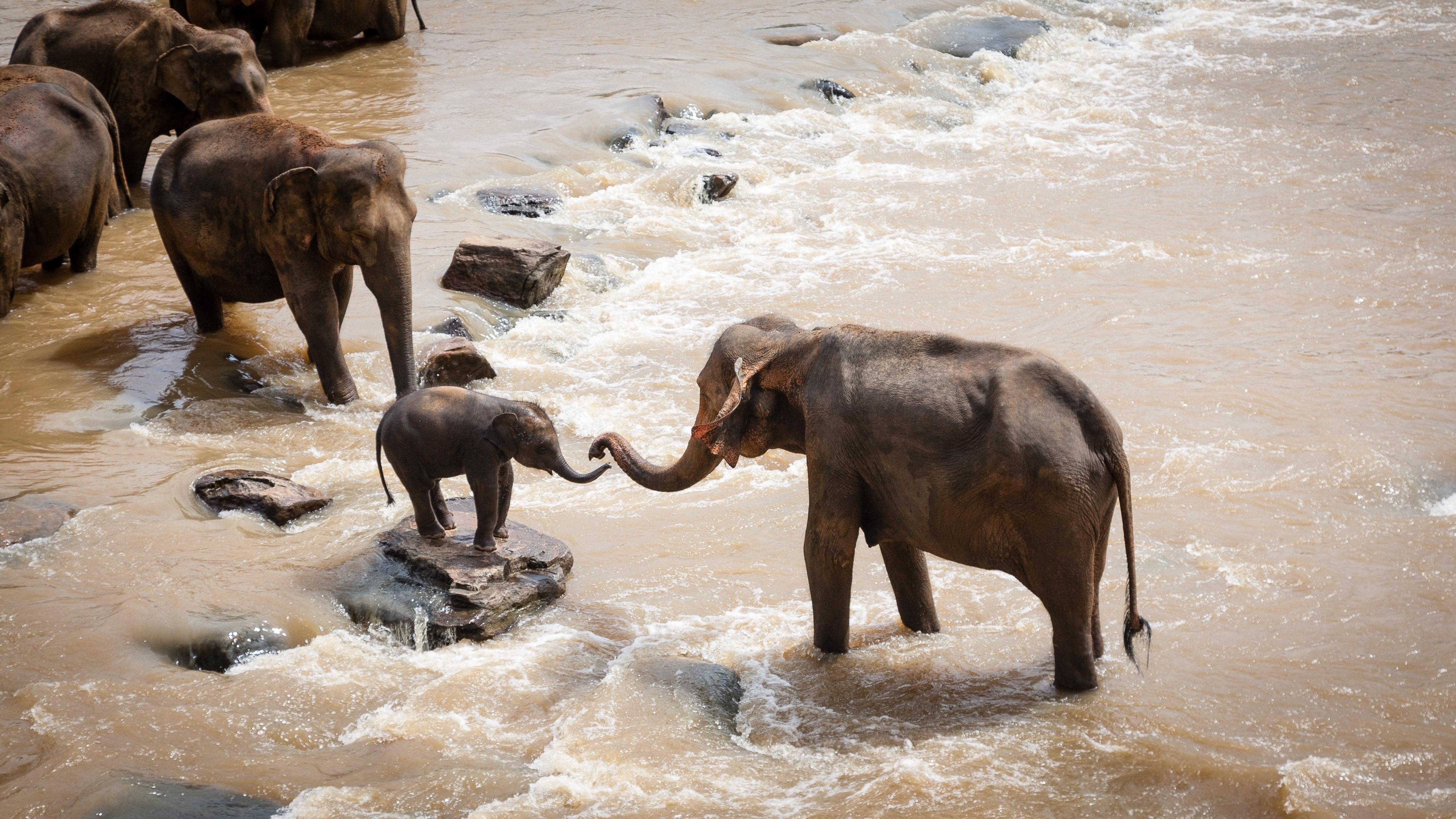 Elephants helping a baby elephant across a river