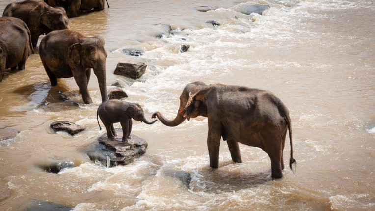 Elephants helping a baby elephant across a river