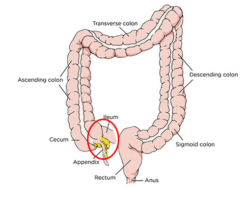 Diagram of the human large intestine
