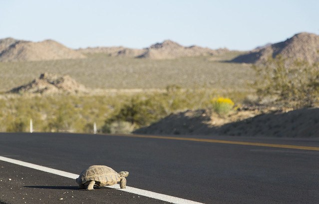 Desert Tortoise crossing roadway, by Brad Sutton/NPS
