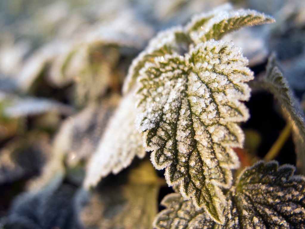 Hoarfrost on a leaf. Leavef covered by hoar or snow and ice on a winter day on the garden. Hoarfrost on the leaves on beautiful winter image – close up of frozen tree branch and leaves covered with rime.